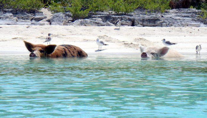 isla de los cerdos bahamas